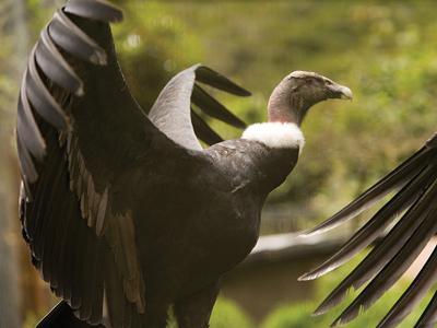 Ecuador's Condors