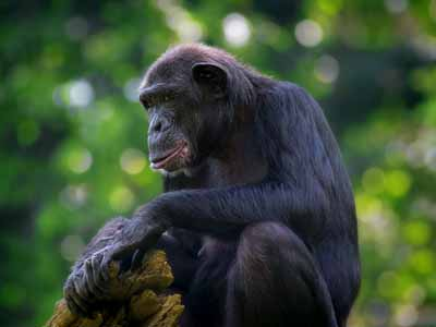 Chimpanzees, Kibale Forest & Queen Elizabeth