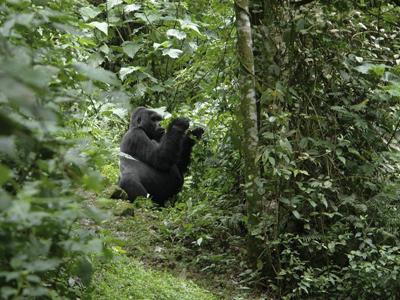 Bwindi: Gorilla Trekking In Impenetrable Forest